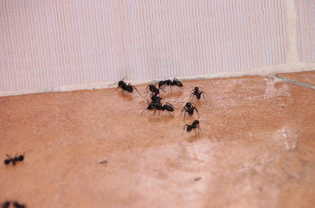 Ant Control – Pest Control Melbourne