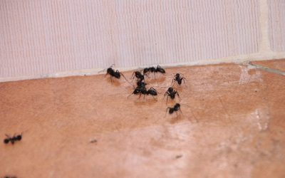 The Benefits of Essential Oil in Getting Rid of Ants